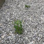 一条工務店の外構防草シートを突き破って生える雑草